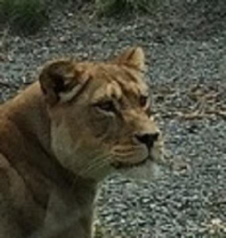 ZOO parc-zoologique lion