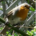 Oiseau M Harrari ROUGE GORGE